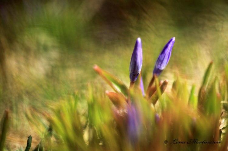Blivande Vårstjärna
