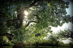 Mitt päronträd