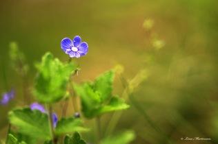Lilla blå