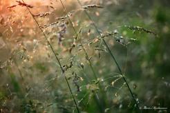 Glittergräs