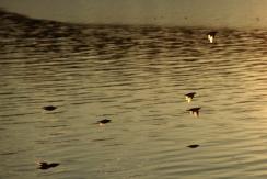 Flyger mot solnedgången