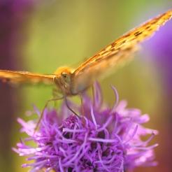 Fjäril vingad