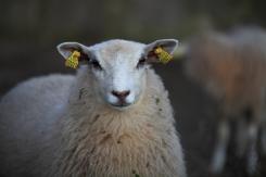 Bä, bä vita lamm