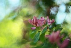 Rosa dröm