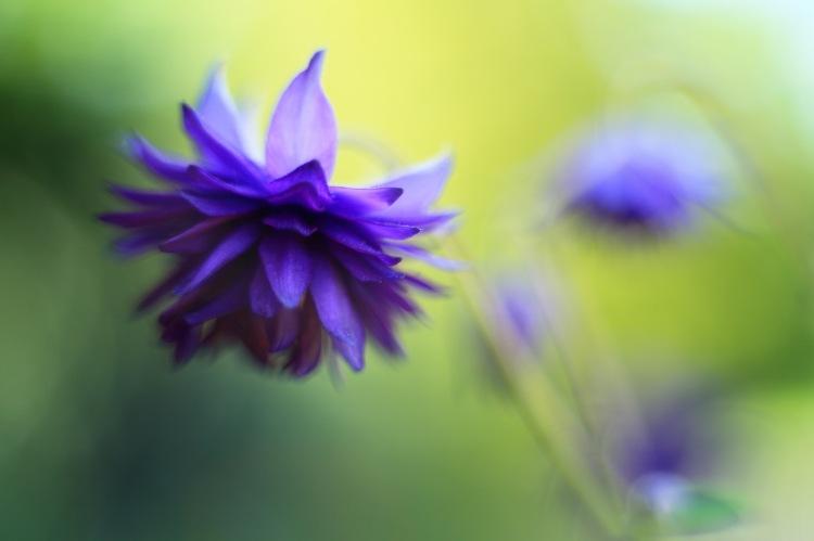 Akleja Blue Barlow