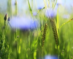 Blåklint i korn