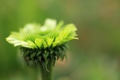 Rudbeckia Green jewel