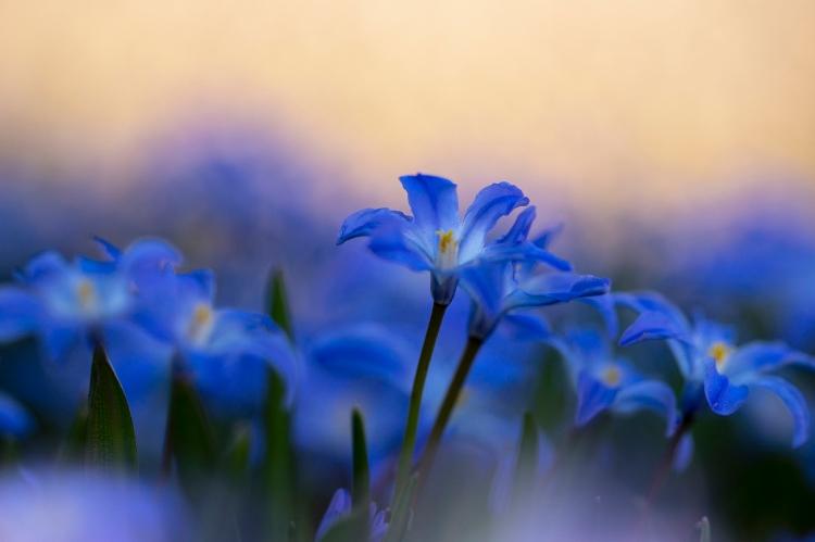 Vårstjärna